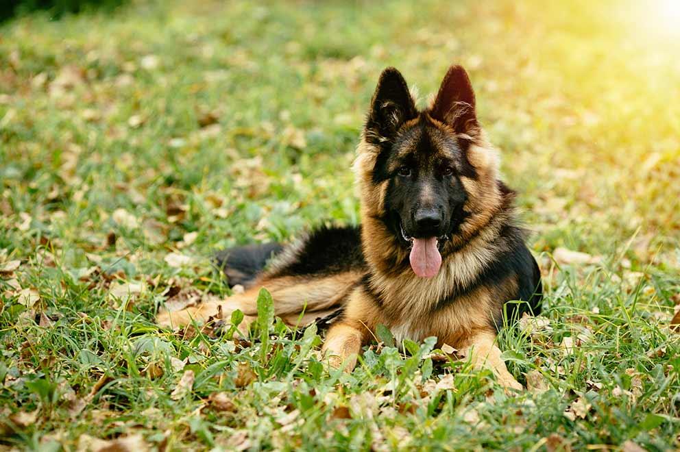German Shepherd Dog - My Hobby Portal