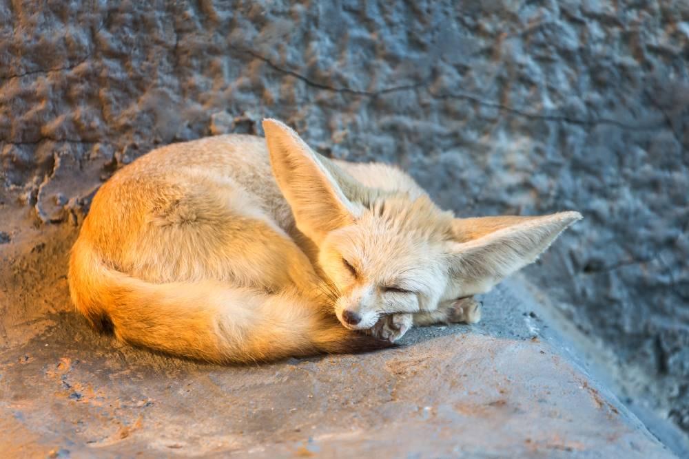 Fennec Fox - My Hobby Portal